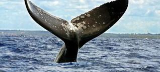 Whalewatching in Europa: Hier kannst Du Wale aus nächster Nähe sehen