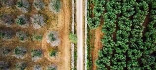 Olivenbäume in Italien: Der Keim des Todes