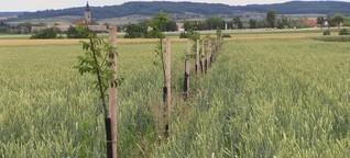 Zu wenige Bäume auf Österreichs Äckern: Eine vertane Chance fürs Klima?